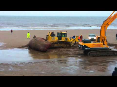 Removing Sperm whale body skegness 26/01/2016