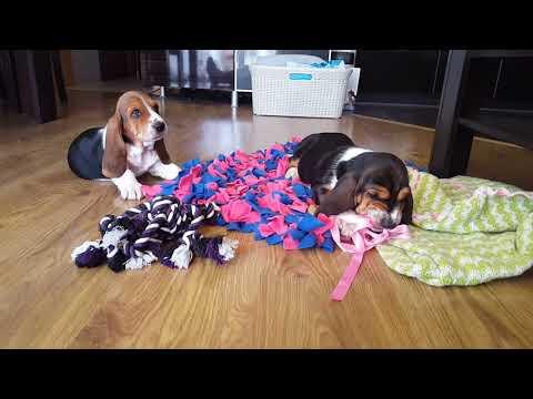 Dog Basset Hound puppies Play