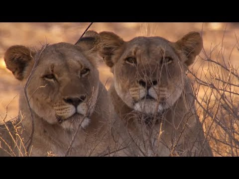 Tracking lions in Namib Desert reveals just how smart they are | BBC Earth