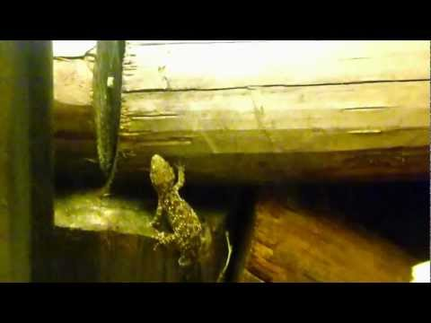 How to get rid of flying ants - lizard hunting