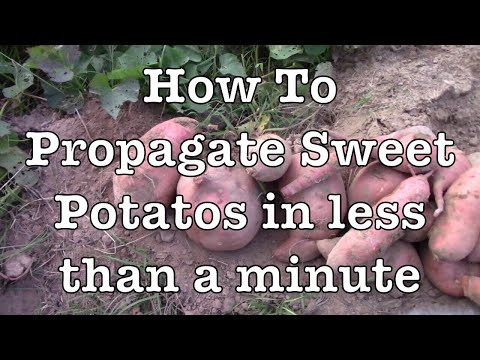How to Propagate Sweet Potatoes in Less Than a Minute!!!!!!!!