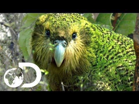 The Strangest Parrot in the World   Modern Dinosaurs