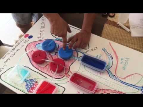 Heart function science project fourth grade