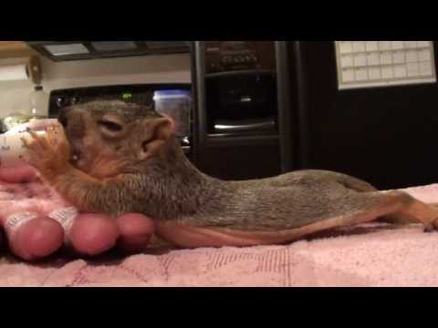 Baby Squirrel Project - Day 34 - Bigger House Today!
