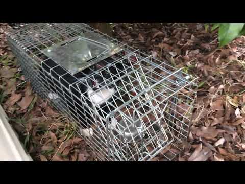 Cat trap catches another pet cat