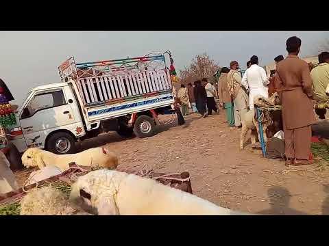 Famous goat breeds in Urdu/ Hindi / Bakron ke nasl aor pehchan