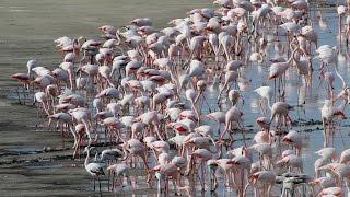 8. 1/2 M. Documentary About Greater Flamingos At Larnaca Salt Lake - Cyprus - By George Konstantinou