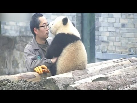 Must watch: Giant Panda cub, human