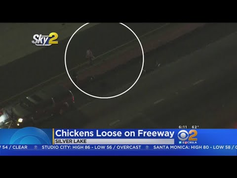 Chickens Stop Traffic On 5 Freeway
