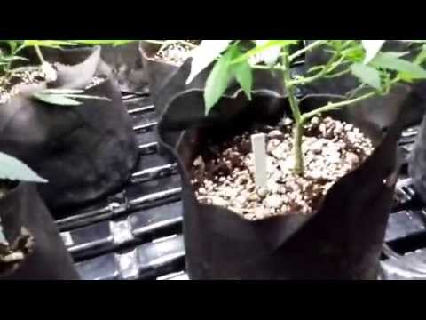 HYDROSOIL- The New Way To Grow Medical Marijuana Cannabis