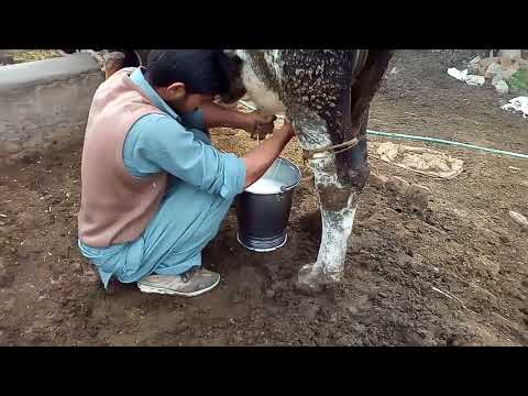 How to increase milk production in animals in Urdu/Hindi
