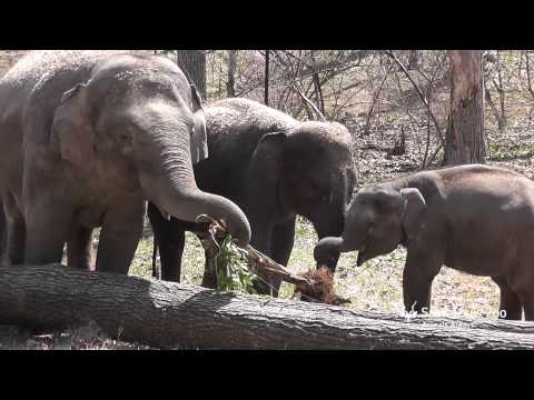 Asian elephants play in Elephant Woods at Saint Louis Zoo