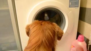 Champis doing laundry
