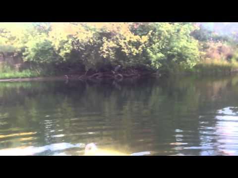 Great Blue Heron takes flight American River Parkway