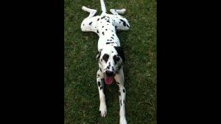 Dalmatian Tired After Playing But Still Does As Told