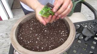 How To Plant Cilantro In Containers