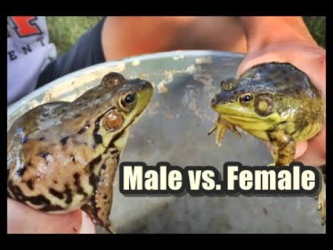 How to tell a Male from a Female Green Frog Wisconsin Catching Tadpoles Bullfrog