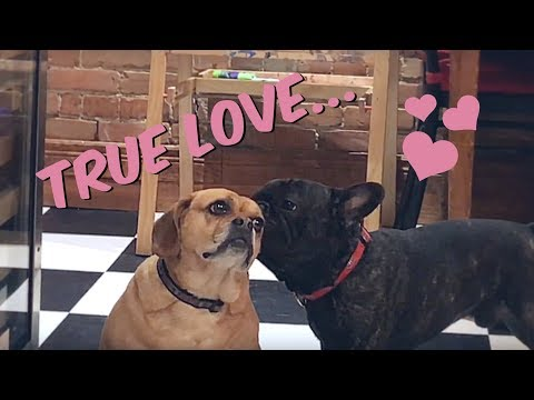 French Bulldog an Puggle Love Each Other