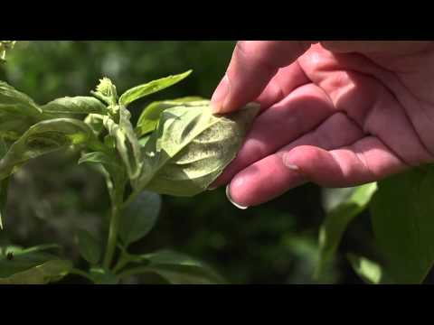 The Garden Minute: Identifying Downy Mildew on Basil