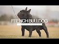 French Bulldog Five Things You Should Know mp3