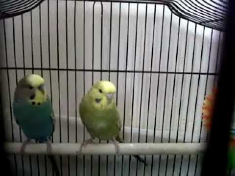 Make Your Budgies Happy!
