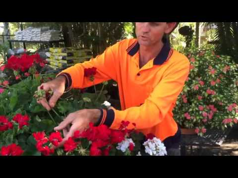 Russell Young pruning Geraniums