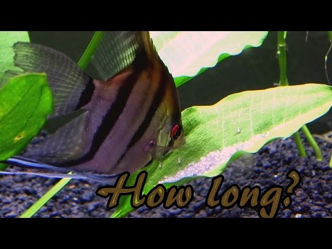 How long does it take for angelfish eggs to hatch?