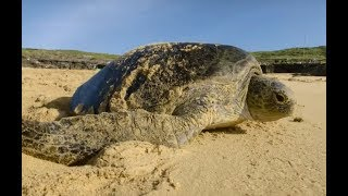 Global warming is turning green sea turtles female | ITV News