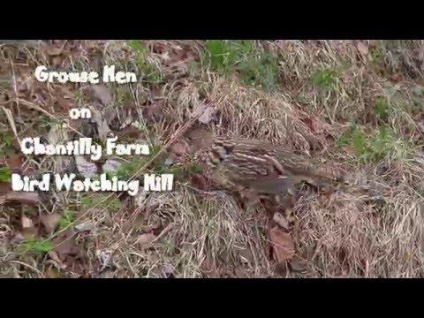 Chantilly Grouse on Bird watching hill