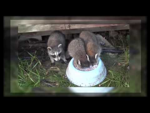 Baby raccoon drinking milk, immersing its head in a bowl.
