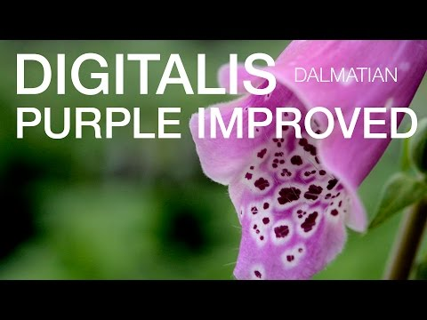 Digitalis Dalmation Purple Improved at ParkSeed.com