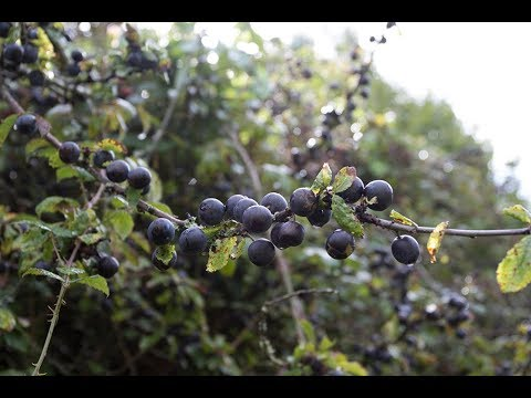 How to make your own sloe gin