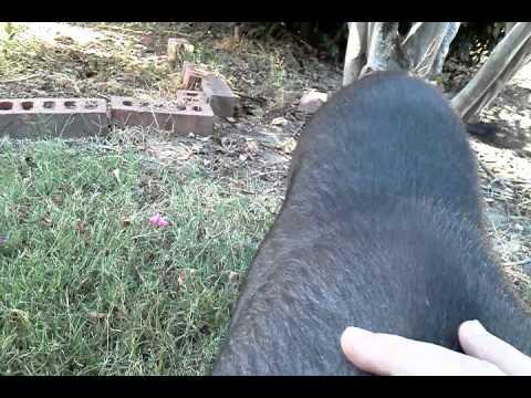 Pet Pot Bellied Pig Scratching - Ruth