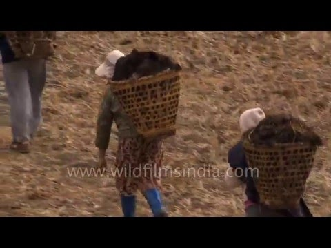 Bhutanese farmers carry cow manure to their fields, in baskets