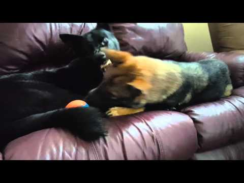 German Shepherds (Black Male and Sable Female) Playing on Couch