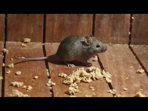6 Keys to Successfully Control Mice and Rats
