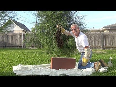 Low down, cedar tree swarm removal.......again!