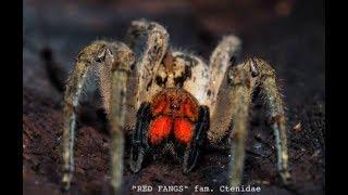 Download Unboxing Deadly Spider ″Hot″ Venom T, Wandering Spider Video