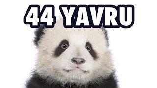 Download 22 Hayvan & 44 Yavru Video
