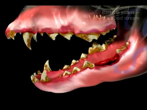 Consequences of Untreated Dental Disease for Dogs