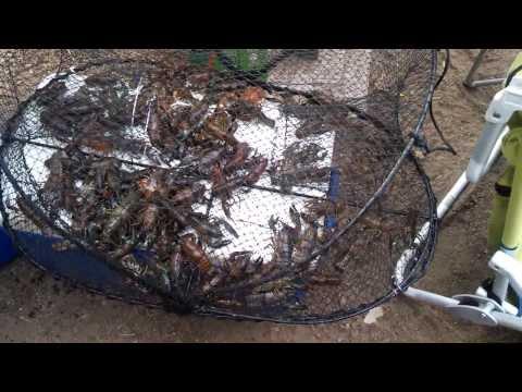 Crawfish Haul During Summer Camping