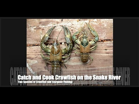 Catch and Cook Crawfish on the Snake River and Bonus Sturgeon Fishing