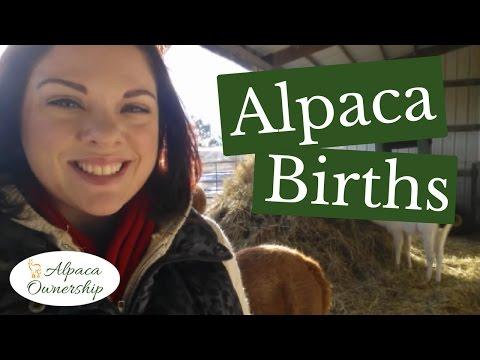 Paca Tuesday - Alpaca Births