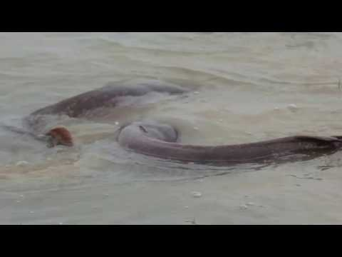 CATFISH SEX REVERSAL PROJECT FOR FAST GROWTH FISH