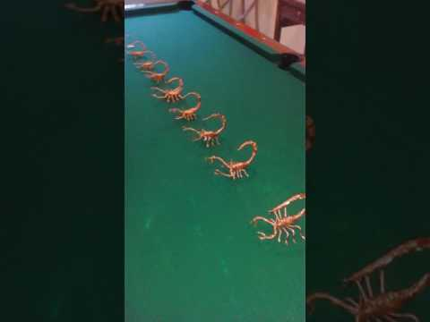 Copper Scorpions