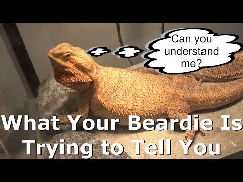 What your Beardie is Trying to Tell You Pt 3