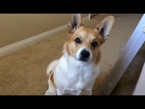 Cute corgi gets REALLY EXCITED for a WALK!!