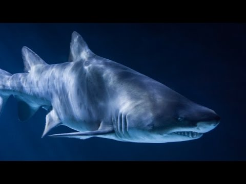 Shark Gills Might Be Why You Can Walk - Newsy
