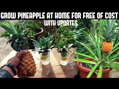 Grow Pineapple For Free-Fast N Easy Way
