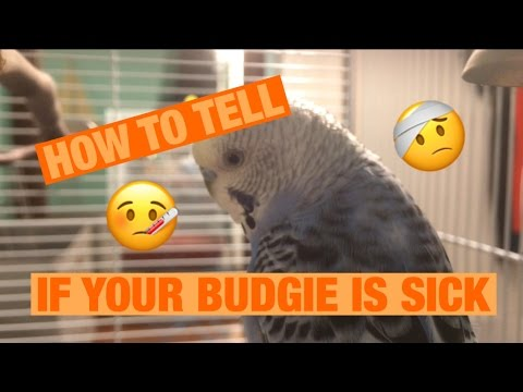 HOW TO TELL IF YOUR BUDGIE IS SICK